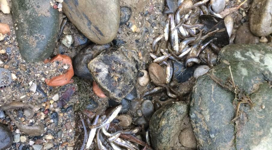 VIDEO - La nuova moria di materiale ittico ad Alzano Lombardo. La posizione di Fipsas Bergamo, pronta a ricorrere alla Procura della Repubblica con una denuncia per procurato danno ambientale