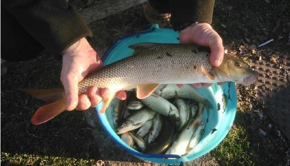 Recupero ittico d'urgenza a Fara Gera d'Adda nella roggia Vailata in un tratto in asciutta